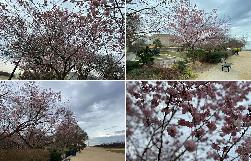 Japanese cherry blossom trees bloom in March.