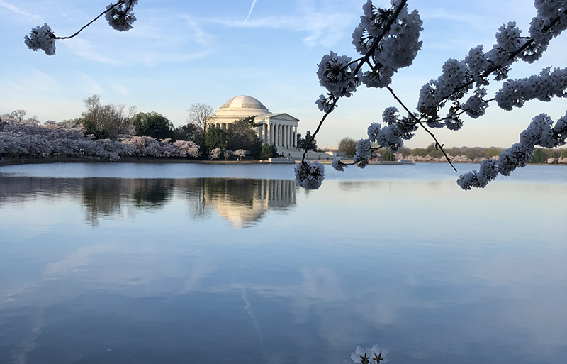 Tidal Basin Jefferson Memorial cherry blossom trees