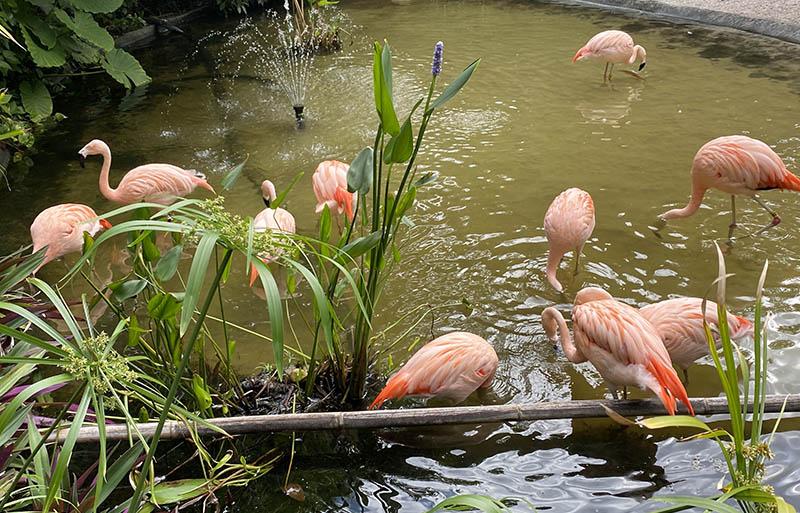 St Pete Florida flamingos
