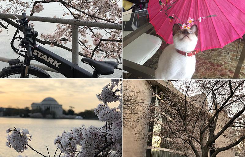 DC Cherry Blossom Season