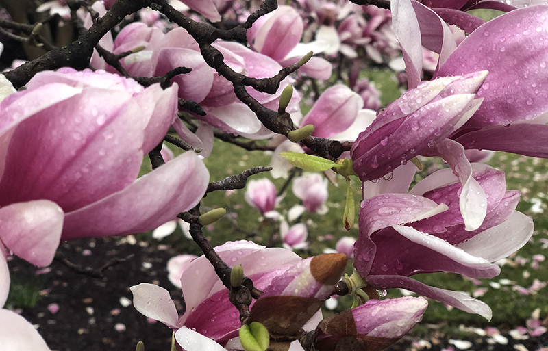 The saucer magnolia petal is cup-shaped.