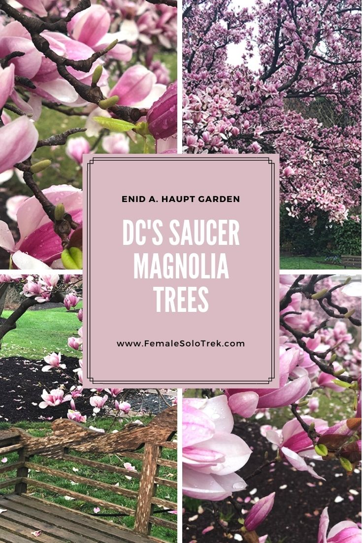 Smithsonian Blooming Saucer Magnolia Trees