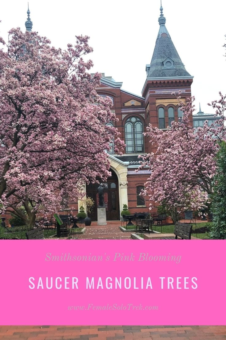 Saucer magnolia trees bloom in March in DC.